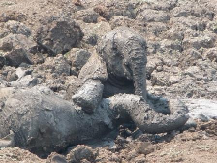 Mother and baby elephants stuck in mud