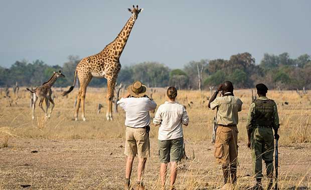 Giraffa at Nsefu