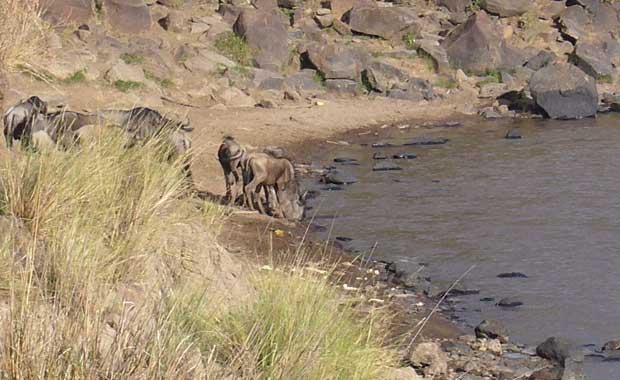 Mara Migration crossing