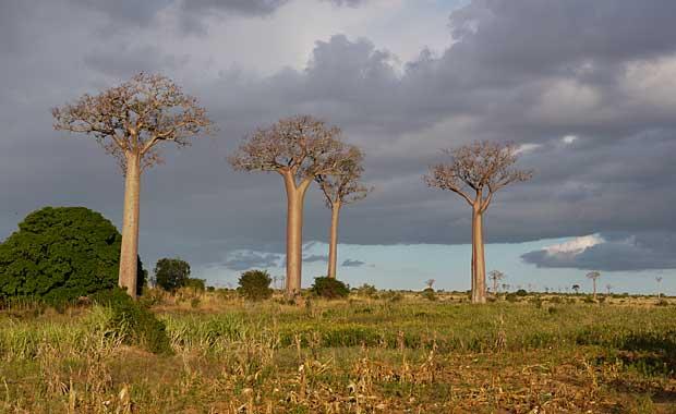 Baobabs-Madagascar