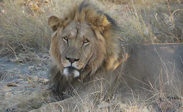 Kalahari lion resting