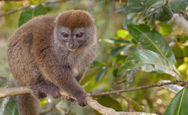 eastern-grey-bamboo-lemur