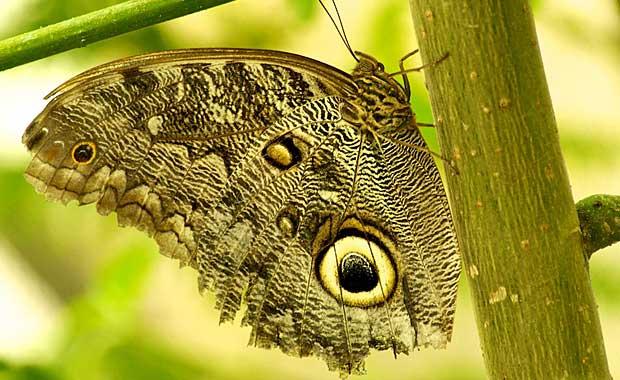 Ecuador-owl-butterfly