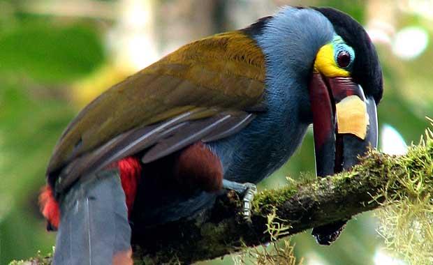 Ecuador-toucan