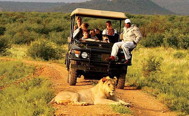 Madikwe Game Drive - Lion
