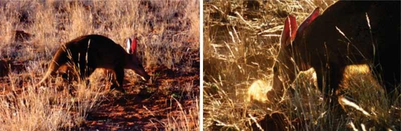 Aardvarks foraging