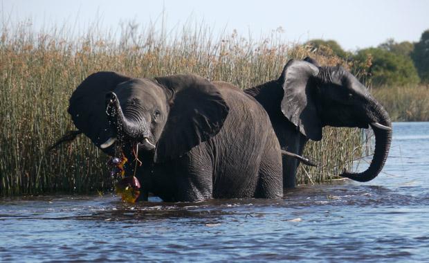 Ele-playing-in-water,-Selinda-Spillway_blog