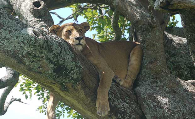 lioness-in-tree