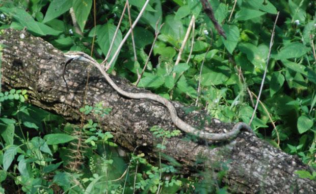 snake-eating