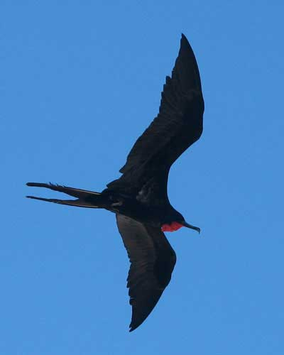 Frigatebird-flying