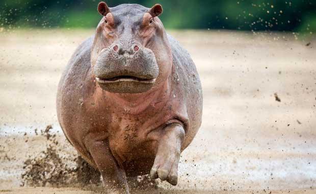 hippo-charging