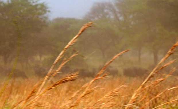 wildebeest-running