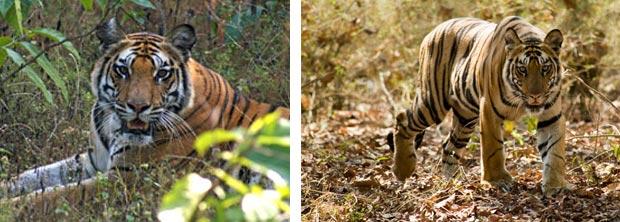 Tiger-portraits