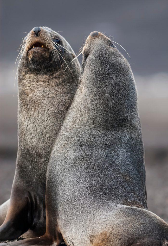 Antarctic fur seal on Deception Island