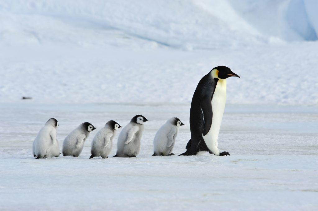 Emperor penguins with chicks, Antarctic