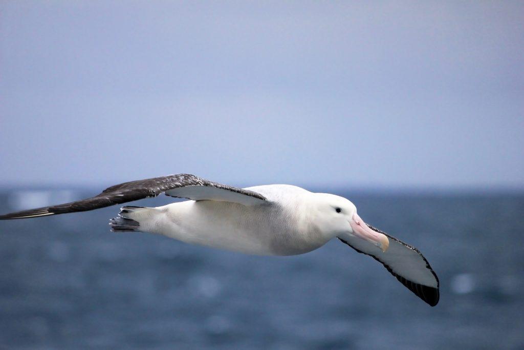 Flying Albatross, Antarctic