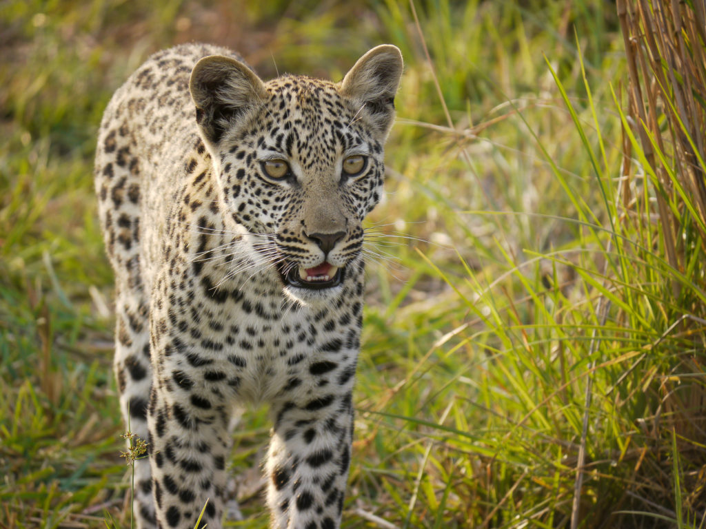 Young leopard, Botswana, Africa