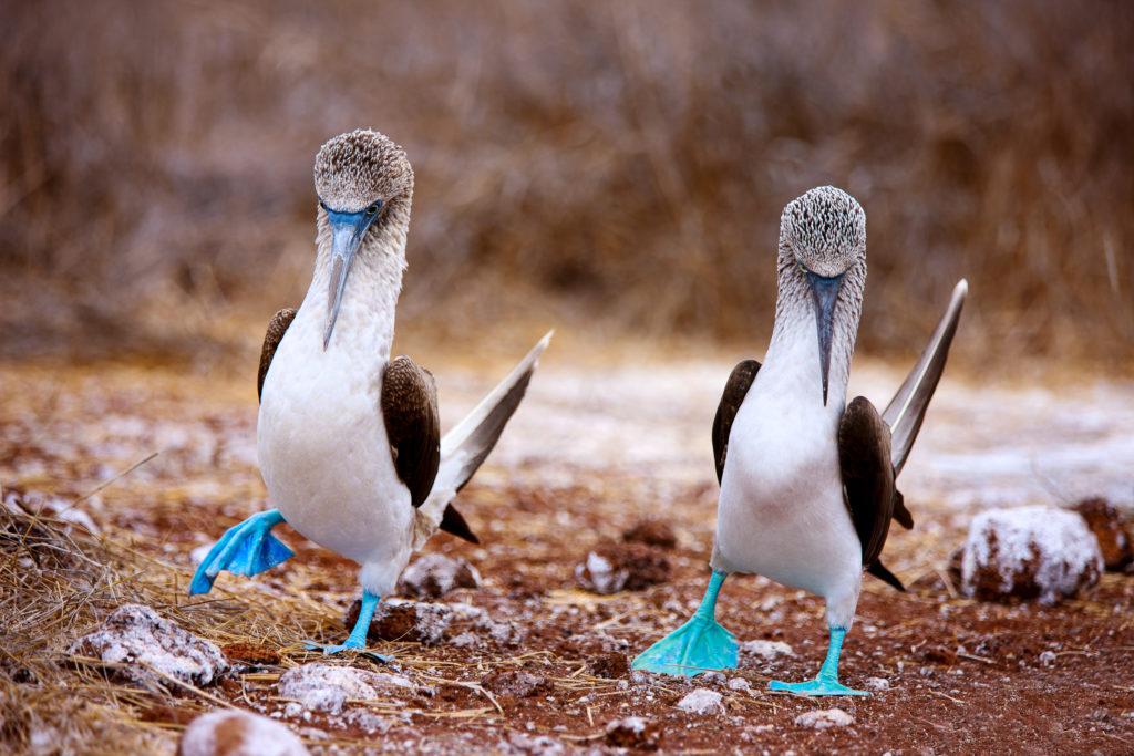 Blue-footed boobies dancing, Galapagos Islands, Ecuador