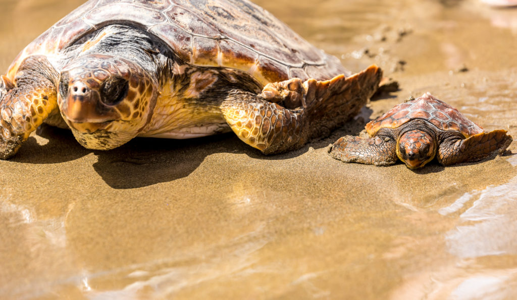 Turtles with baby on the beach