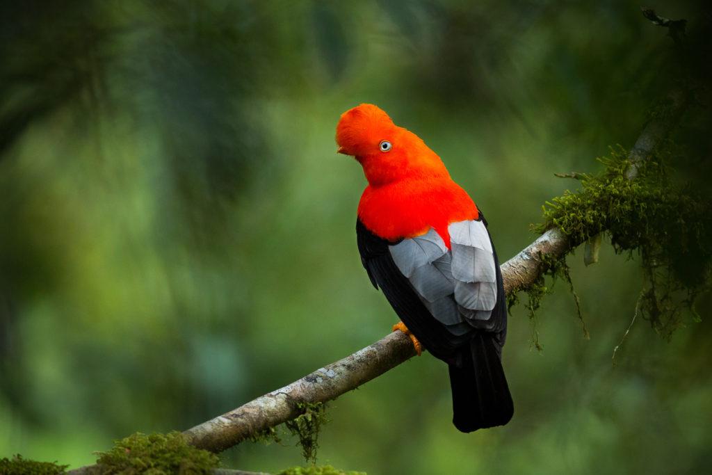 Cock o' the rock, Ecuador