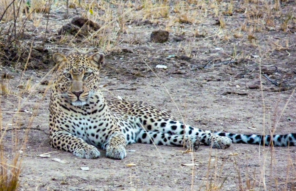 Leopard in South Luangwa National Park, Zambia