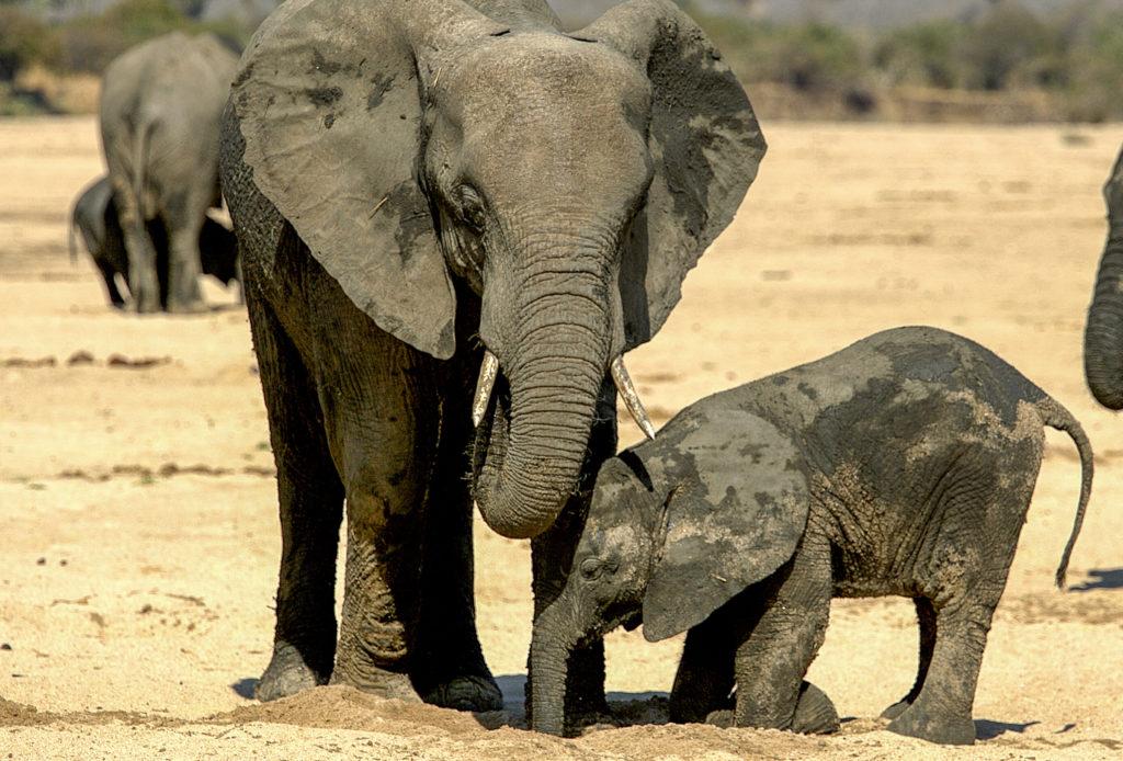 Elephants digging for water in Ruaha, Tanzania