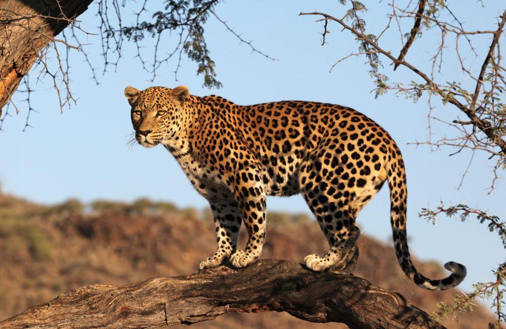 Leopard at Okonjima, Namibia