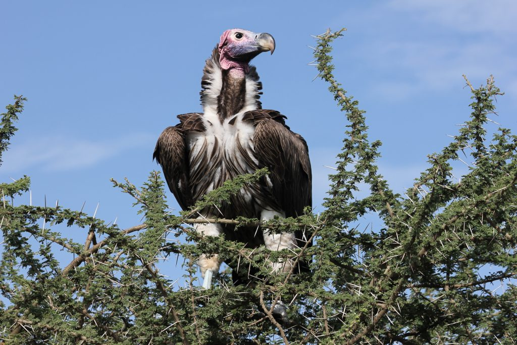 Vulture in the Ngorongoro highlands, Tanzania