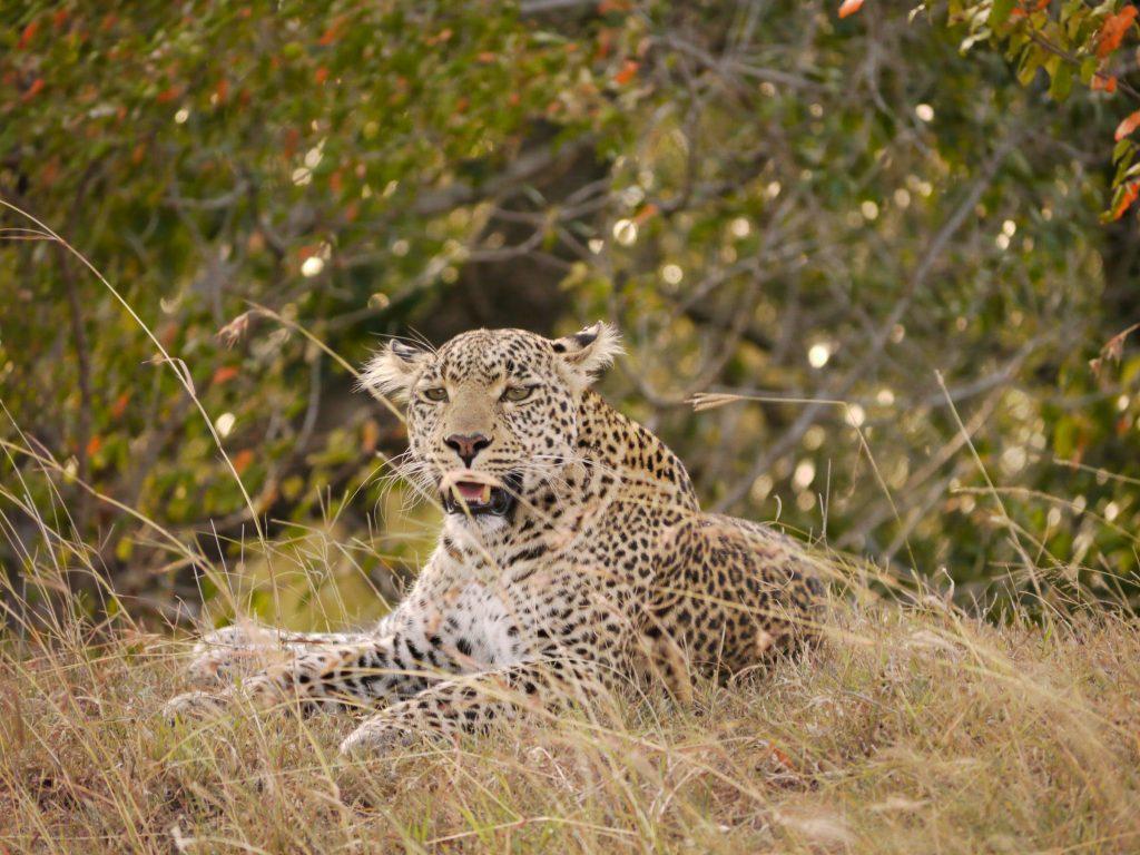 Fig the leopard in Olare Motorogi Reserve, Masai Mara, Kenya