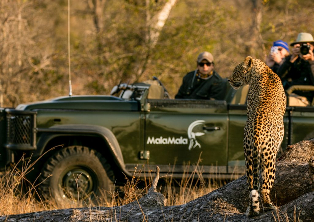Leopard at MalaMala Camp in MalaMala Game Reserve, Sabi Sand, Kruger, South Africa