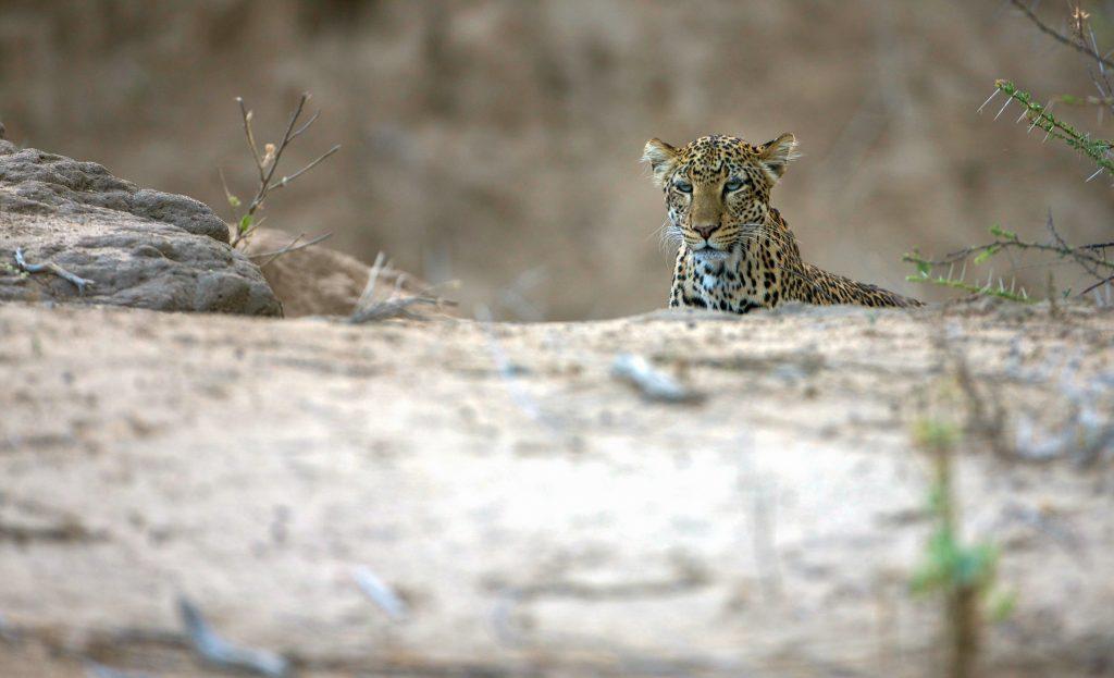 Leopard at Sarara Camp in Namunyak Conservancy near the Mathews Range, northern Kenya