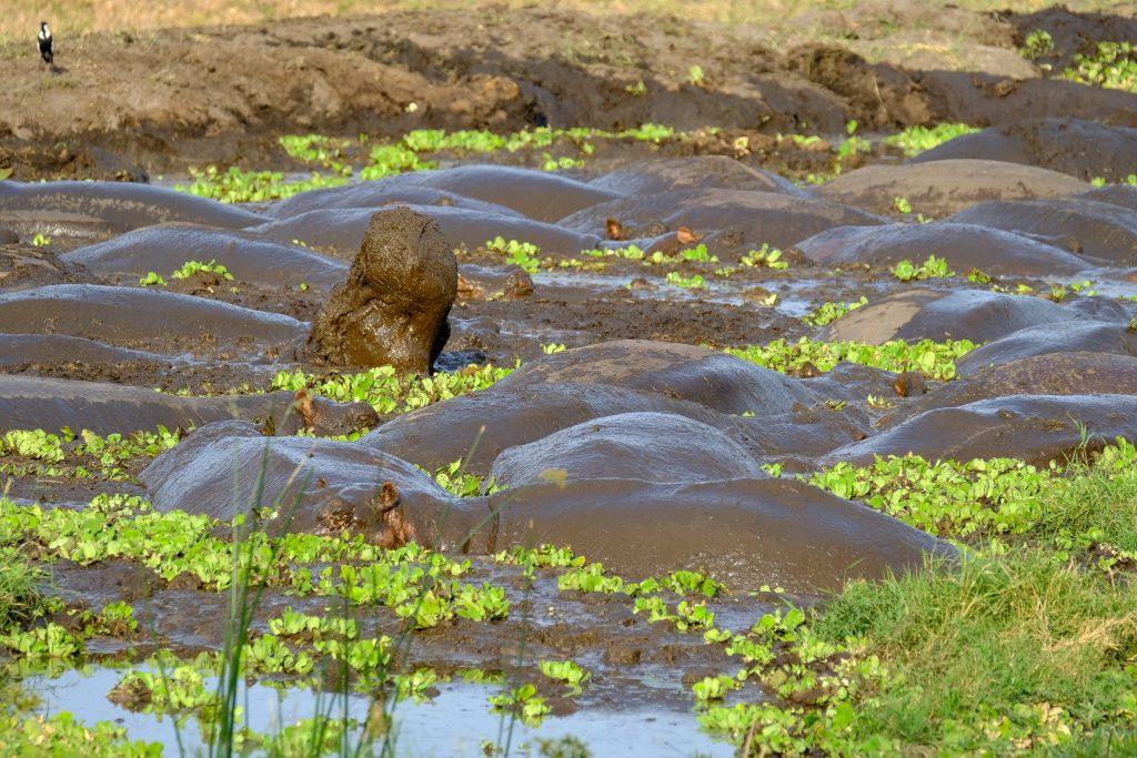 A muddy Katavi hippo pool, Tanzania